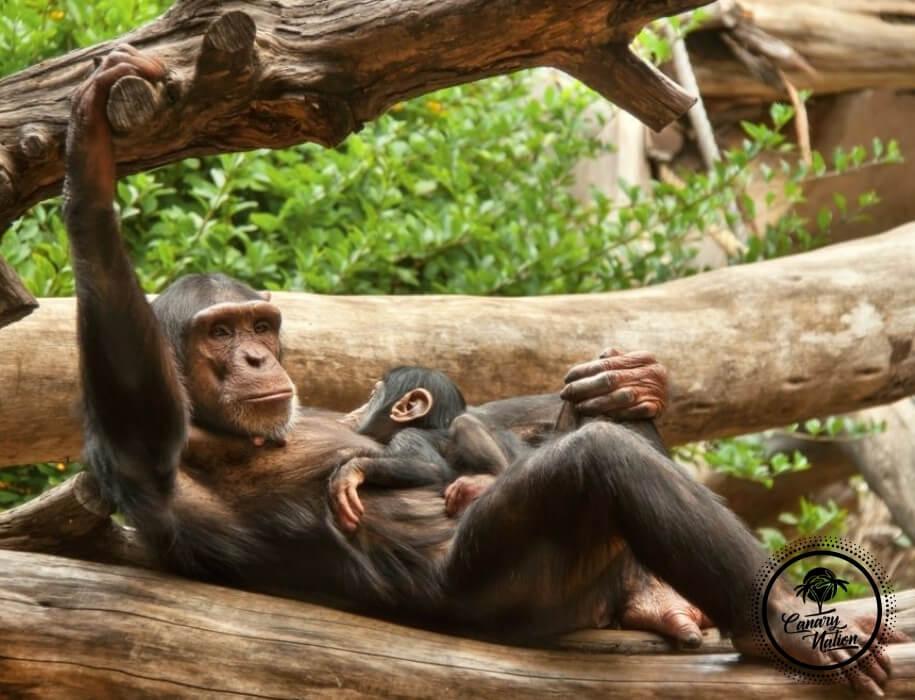 chimpanzee-baby-loro-park-tenerife