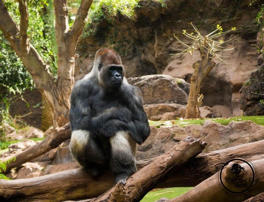 gorilla-loro-park-tenerife