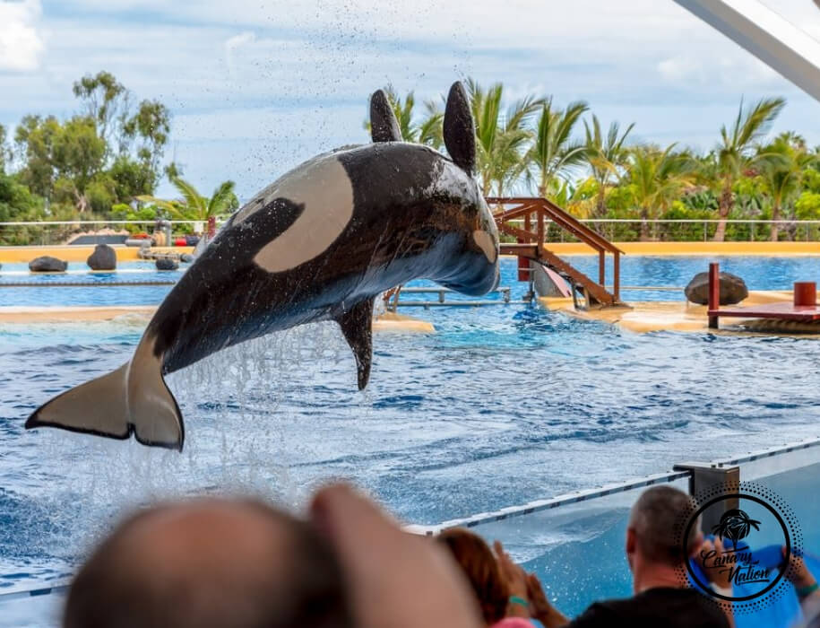 killer-whale-jumping-loro-park-tenerife
