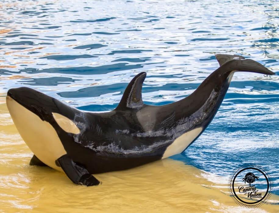 killer-whale-loro-park-tenerife