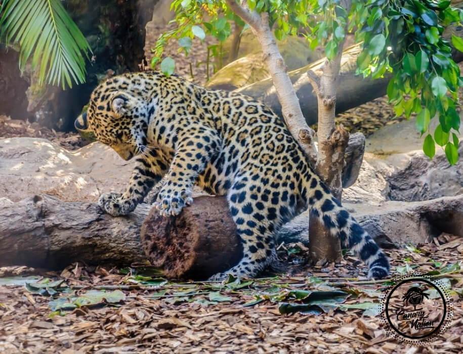 leopard-loro-park-tenerife