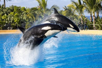 orcas loro park tenerife