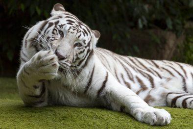 tigre loro park tenerife