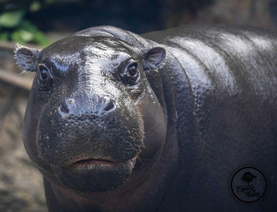 hippo-loro-parque-tenerife (2)