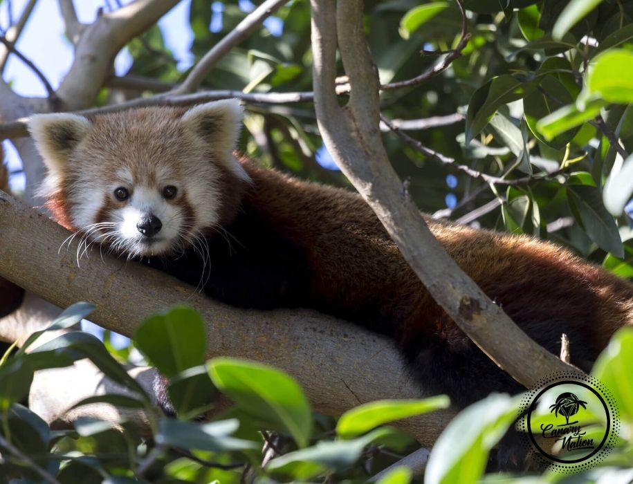 panda-rojo-loro-parque-tenerife