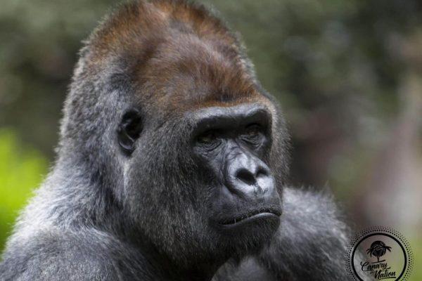 gorilla-loro-parque-tenerife