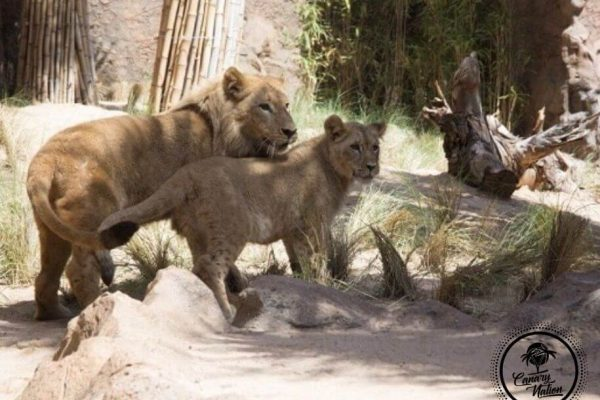 lions-kingdom-loro-park-tenerife